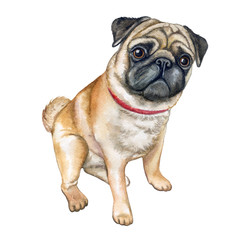 Dog pug isolated on white background. Watercolor. Illustration. Template. Image. Picture
