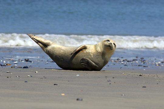 Junge Robbe in gymnastischer Pose