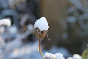 Neige sur plante