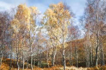Birch stand / A landscape image of autumnal Silver Birch, Betula pendula, trees, Highlands, Scotland, UK, October 2017