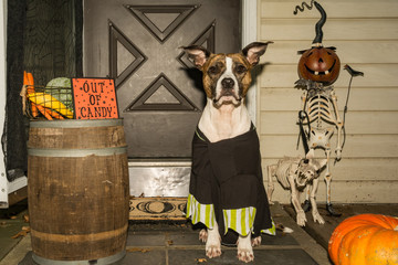 A cute dog trick or treating at a house that is out of candy.