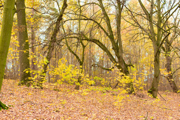 trees with yellow leaves in the woods