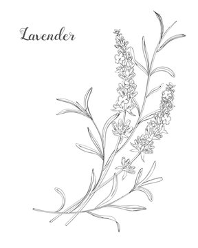 Vector sketch lavender illustration. Beautiful boquet of lavender flowers.  Doodle, line art