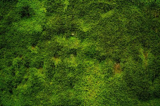 Natürliches grünes Moos als Hintergrund - Textur