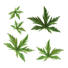 Green leaf watercolor of geranium. Hand drawn watercolor illustration on white background.