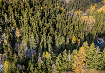 Aerial view of conifer trees in autumn forest. Spectacular colors in swiss mountain forest in sun light