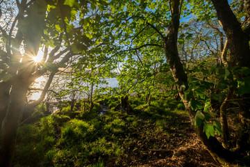 Woodland on the shore of Loch Lomond