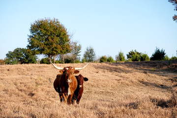 Wall Mural - Two cows on rural farm with countryside landscape in background.