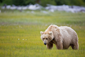 Brown bear standing in the meadow with drift wood in the background in Alaska
