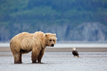 Brown bear and bald eagles standing on the beach in Alaska