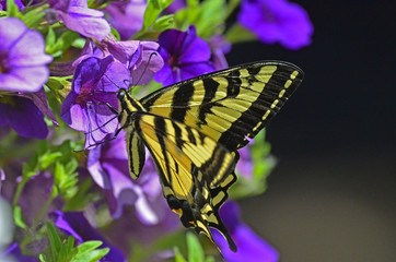 butterfly sipping necture on purple flower