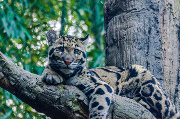 Earth Toned Fur on a Clouded Leopard in a Tree Looking at the Camera
