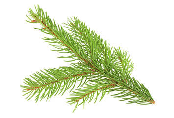 Green fir branch for christmas, white background