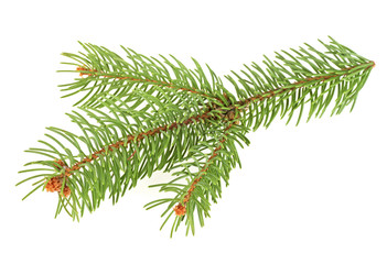 Branch of christmas tree isolated on a white background