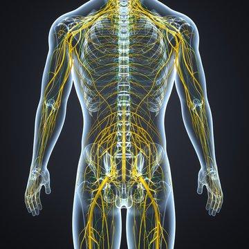 Nervous System with Lymph Nodes