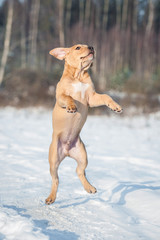 Happy american staffordshire terrier puppy playing in winter