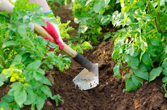 earthing up of potato plants