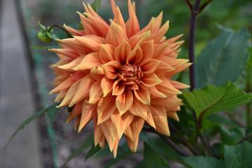 Dahlia orange en été au jardin