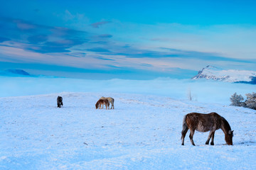 Horses in the mountains are looking for food under the snow.