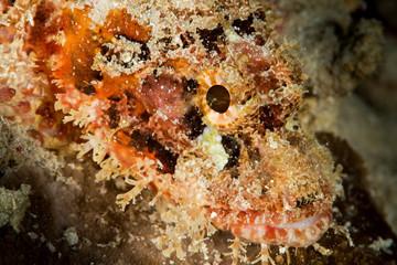 tasseled scorpionfish head