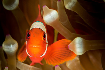 spinecheek anemonefish, clownfish