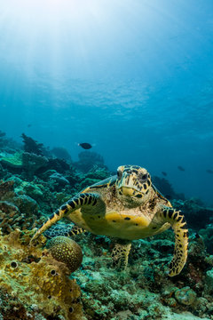 loggerhead turtle swimming over a coral reef with sun rays