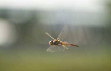 Flying dragonfly with natural background