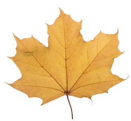 yellow maple leaf on a white background is the most commonly used sun symbol