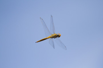 Flying dragonfly with blue sky background