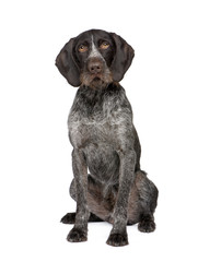 German Shorthaired Pointer (4 years)