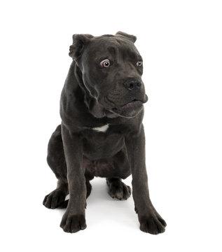 Portrait of black mixed bastard dog with sad face