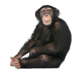 Foto op Aluminium Aap Young Chimpanzee sitting - Simia troglodytes (5 years old)