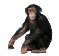 Foto op Textielframe Aap Young Chimpanzee, Simia troglodytes, 5 years old, sitting in front of white background