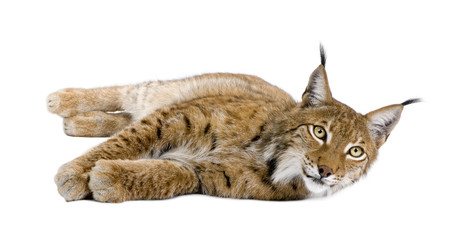 Foto op Plexiglas Lynx Eurasian Lynx, Lynx lynx, 5 years old, lying in front of white background, studio shot