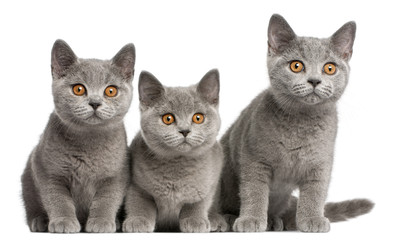 British Shorthair kitten (3 months old), British Shorthair kitten (3 months old), British Shorthair kitten (3 months old)