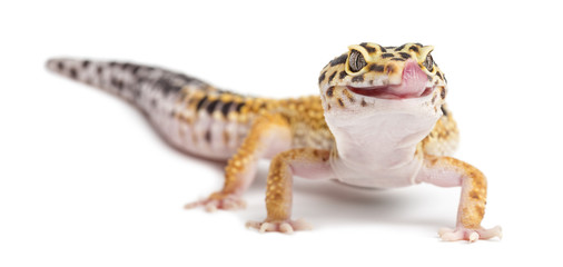 Wall Mural - Leopard gecko, Eublepharis macularius, against white background