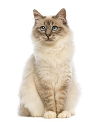 Birman sitting and looking up  against white background