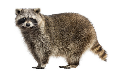 Side view of a Racoon, Procyon Iotor, standing, isolated on white