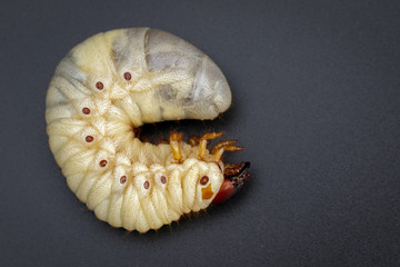 Image of grub worms, Coconut rhinoceros beetle (Oryctes rhinoceros), Larva on black background.