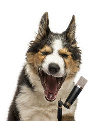 Close-up of a Border collie singing into a microphone, isolated on white