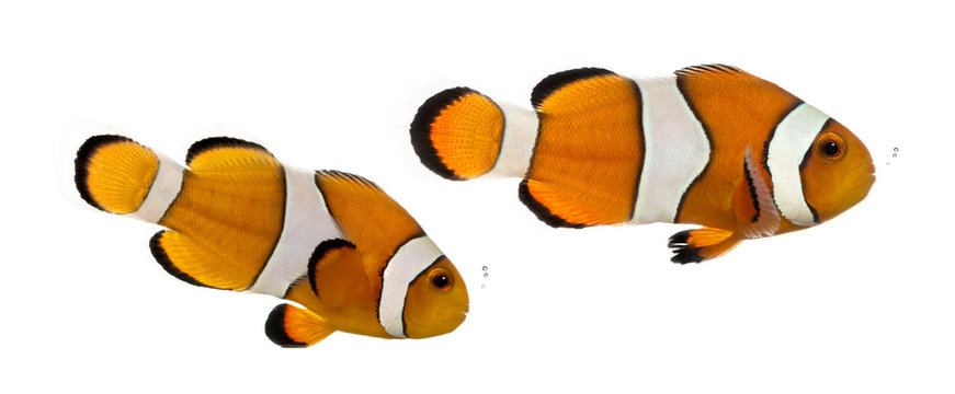 Two bubbling Ocellaris clownfish, Amphiprion ocellaris, isolated on white