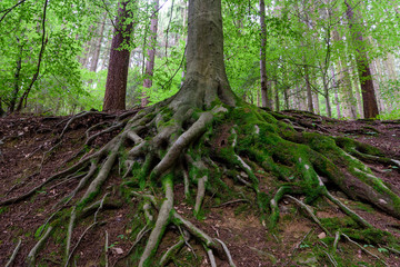 Outdoor nature image of gigantic roots of an old tree, covered with moss and underwood