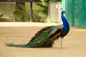 Peacock with tail lowered. Side view