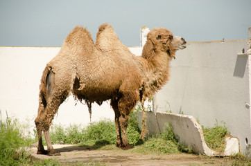 The camel molts