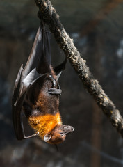 flying foxes close-up