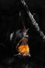 flying foxes in the wild nature