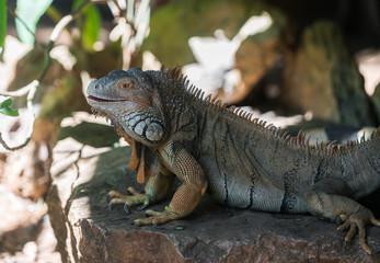 large iguana lizard