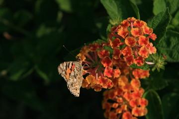 Farfalla affamata