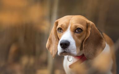 Autumn portrait of beautiful Beagle dog