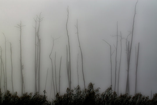 A stand of dead cypress trees in fog at Guste Island Louisiana is a result of saltwater intrusion into the swamp